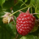 Raspberry_autumn_bliss